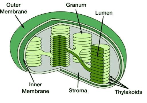 Kloroplas-Pengertian-Fungsi-Struktur-Sifat-Cara-Kerja