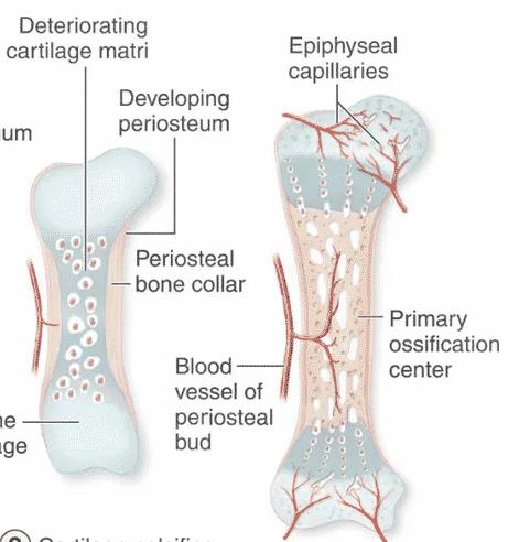 Selesaikan-proses-pembentukan-dan-pemahaman-tulang